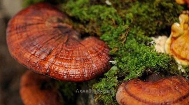 قارچ گانودرما ماده اصلیقهوه گانودرما لاته دکتر بیز